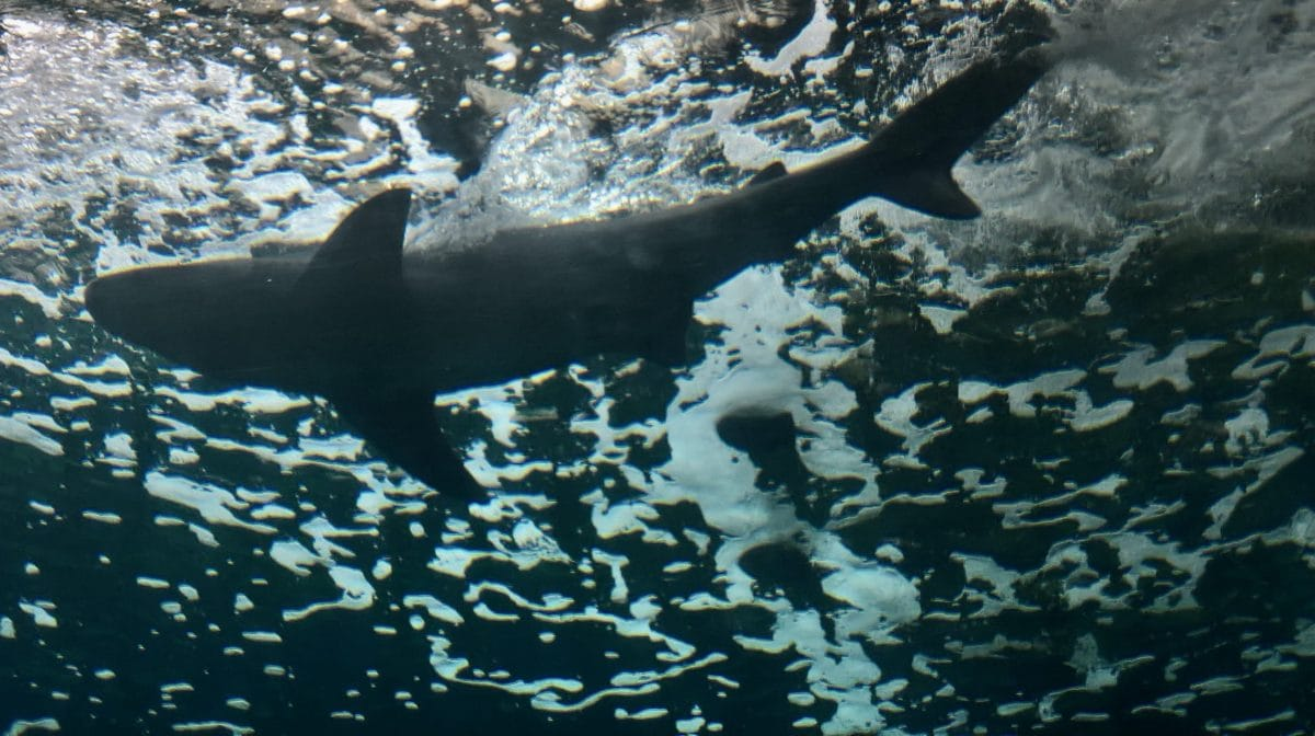 shark, underwater, sea, reef, seal, ocean, fish, water