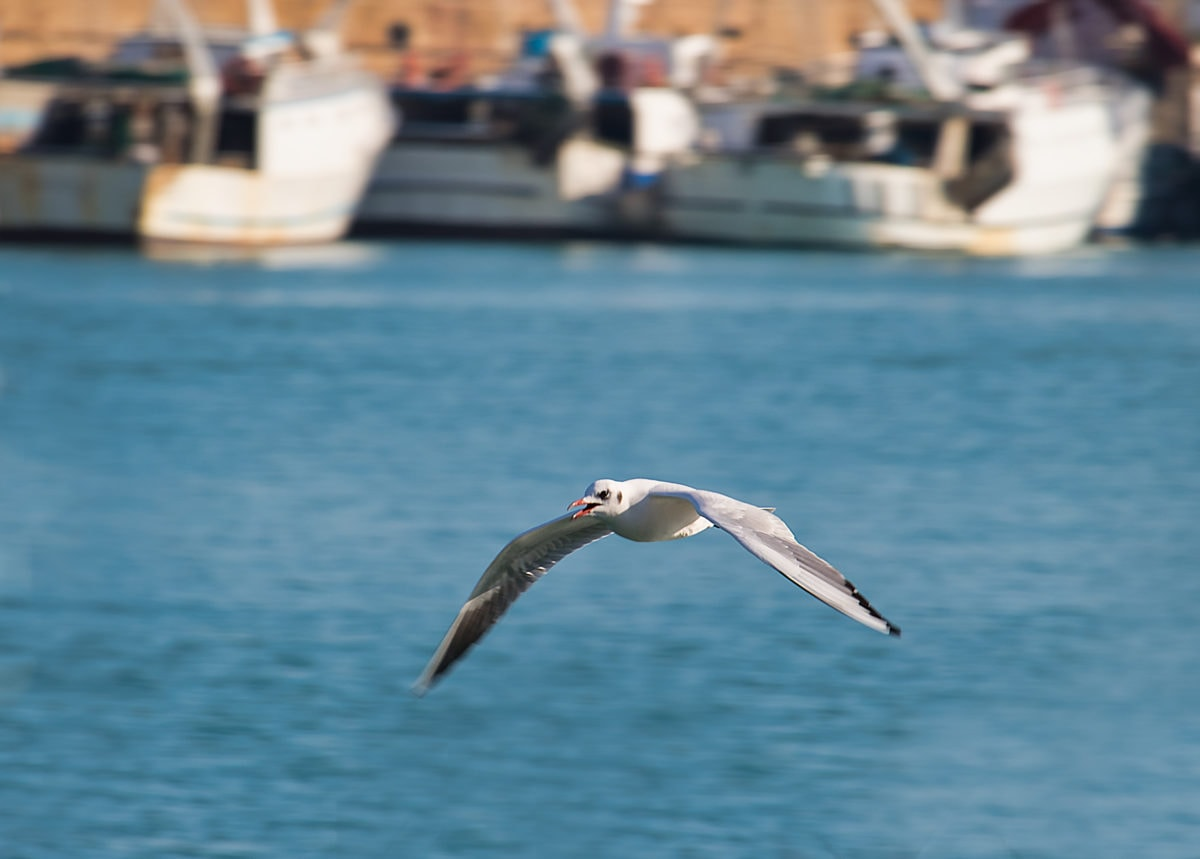 vuelo, Seagull, gaviotas, pico, Blanco, pájaro, aves acuáticas, pájaro de orilla