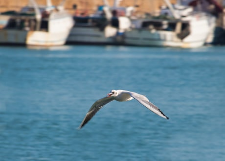 voo, Gaivota, gaivotas, bico, branco, pássaro, ave aquática, pássaro da costa
