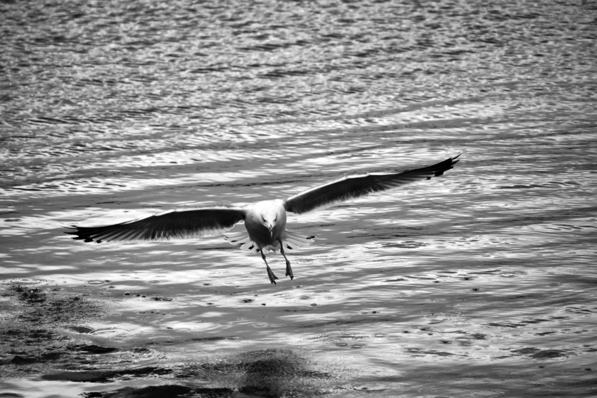 Mouette, ailes, bec, noir et blanc, oiseaux aquatique, vol, oiseau, oiseaux
