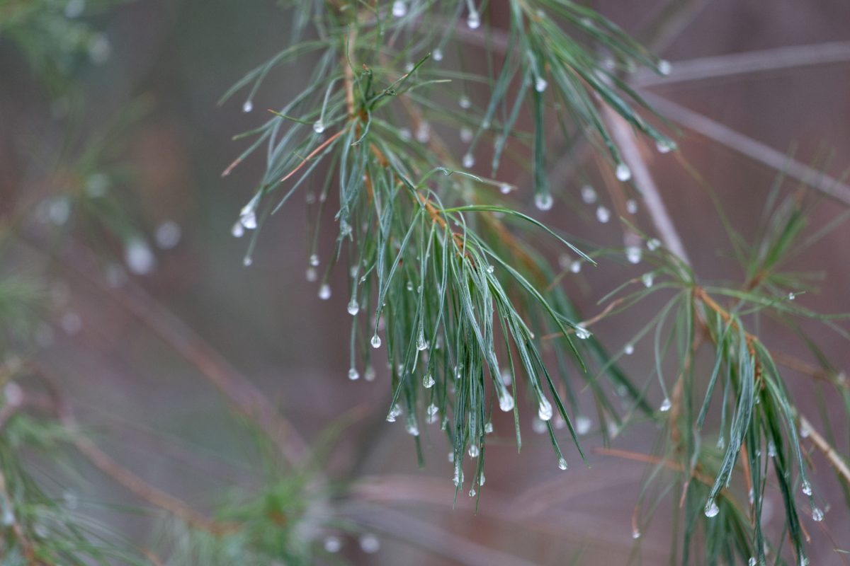 cabang, cabang, ekologi, hujan, alam, pinus, pohon, daun
