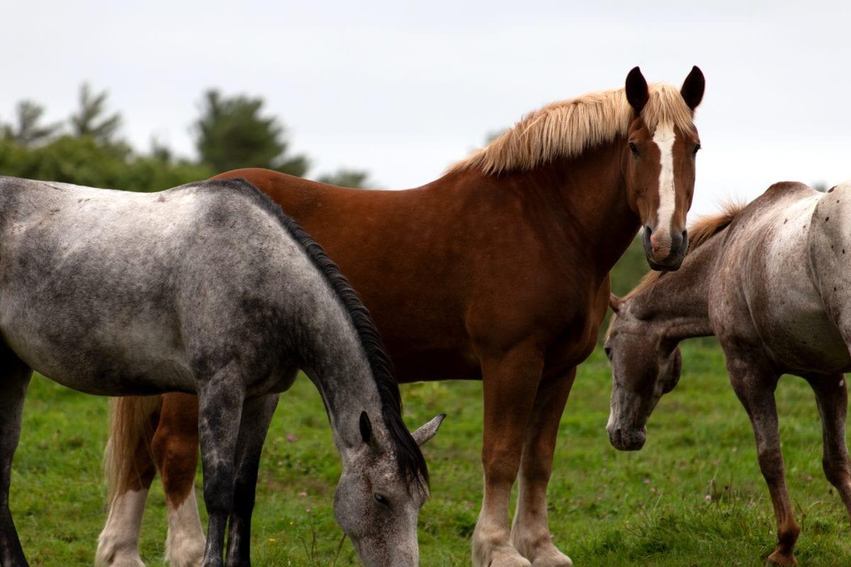 коне, Колт, кавалерия, еднокопитни, животните, кон, младите, жребец