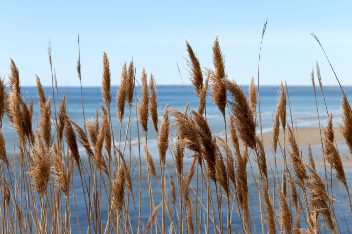 beach, beach grass, beachfront, blue sky, sky, plant, summer, cereal
