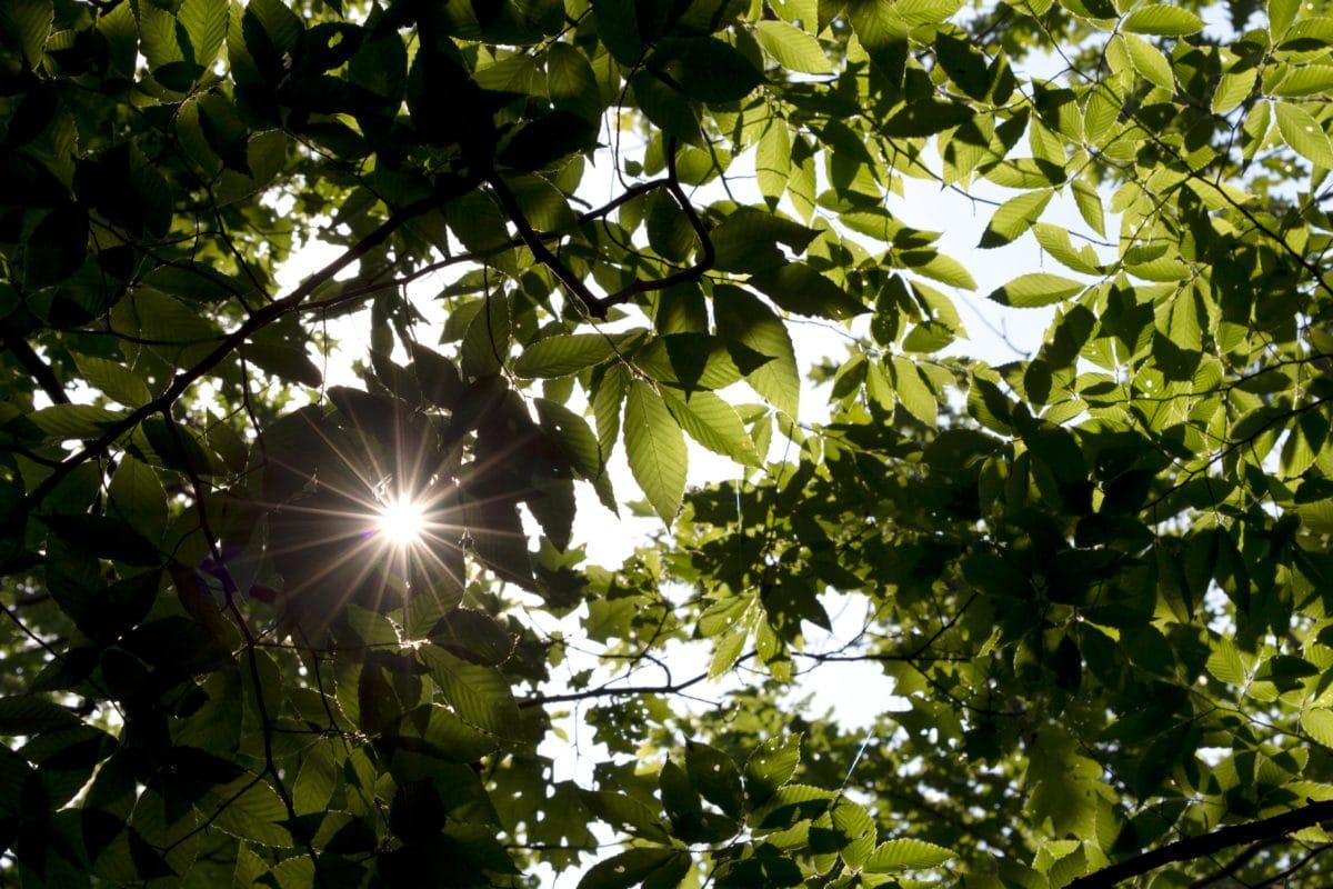 vihreitä lehtiä, Luonto, kasvi, lehti, puu, haara, Aurinko, kesällä