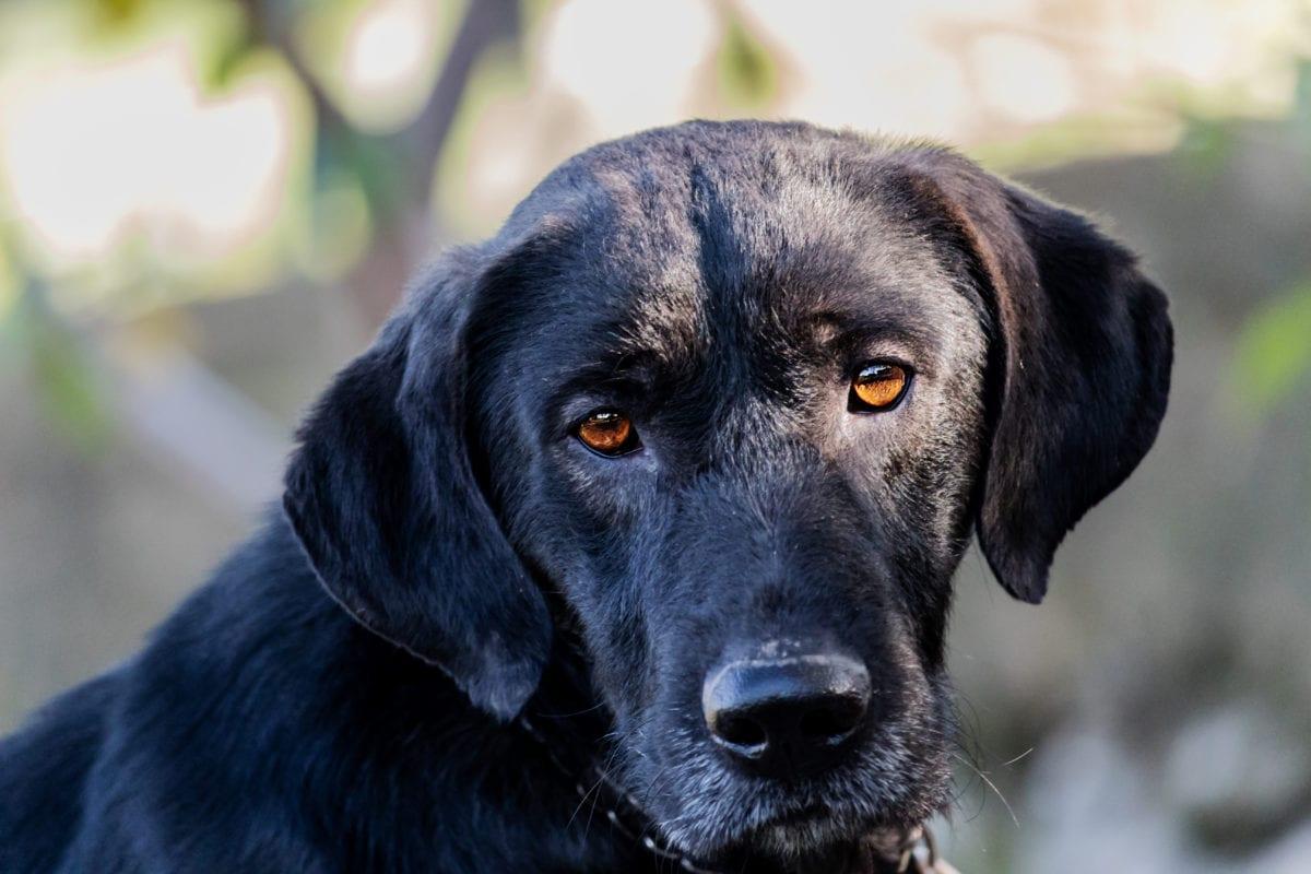 vadászkutya, kutya, állat, cuki, Kutyaféle, kiskutya, portré, törzskönyv