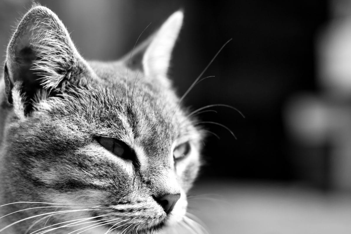 huskat, dyr, killing, kat, pels, Portræt, øje, natur