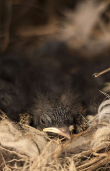 avian, bird, chick, nest, wildlife, nature, animal, portrait