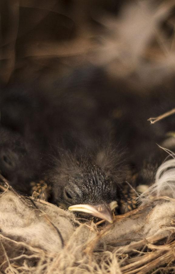 των πτηνών, πουλί, γκόμενα, φωλιά, άγρια φύση, φύση, ζώο, πορτρέτο