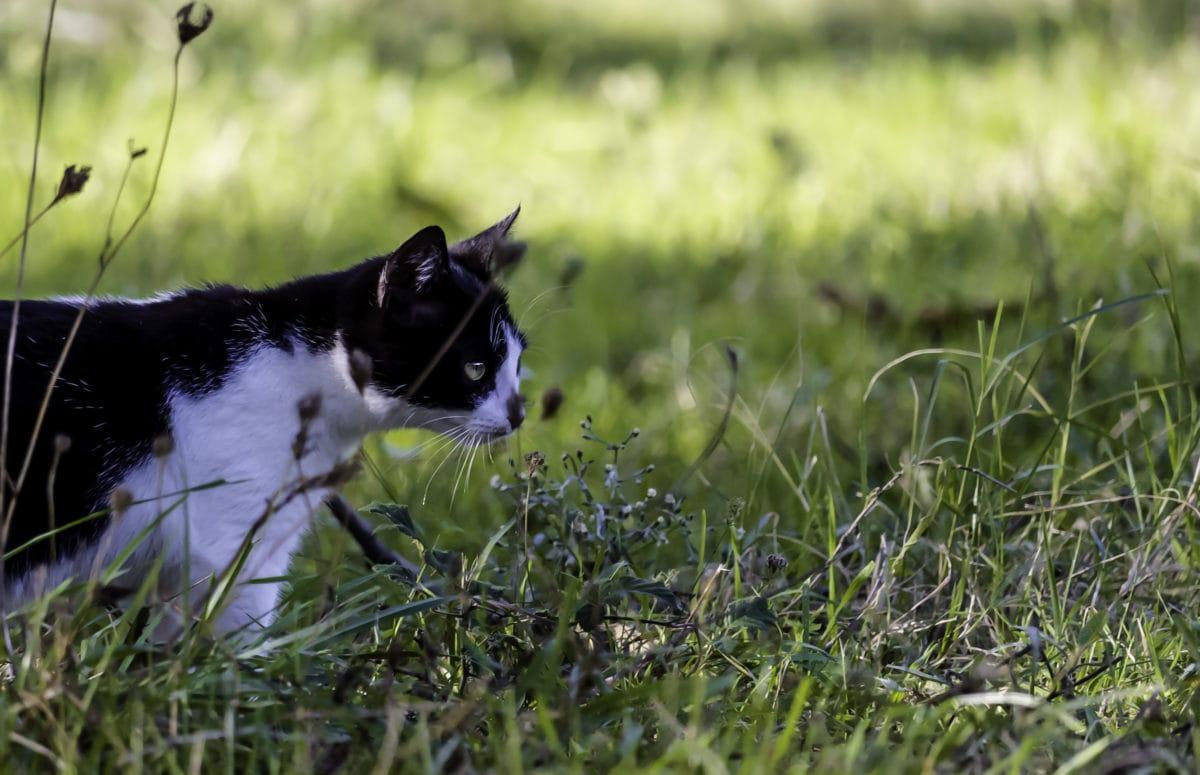 kissa, utelias, kotikissa, nurmikolla, vihreitä lehtiä, lemmikki, koira, Söpö
