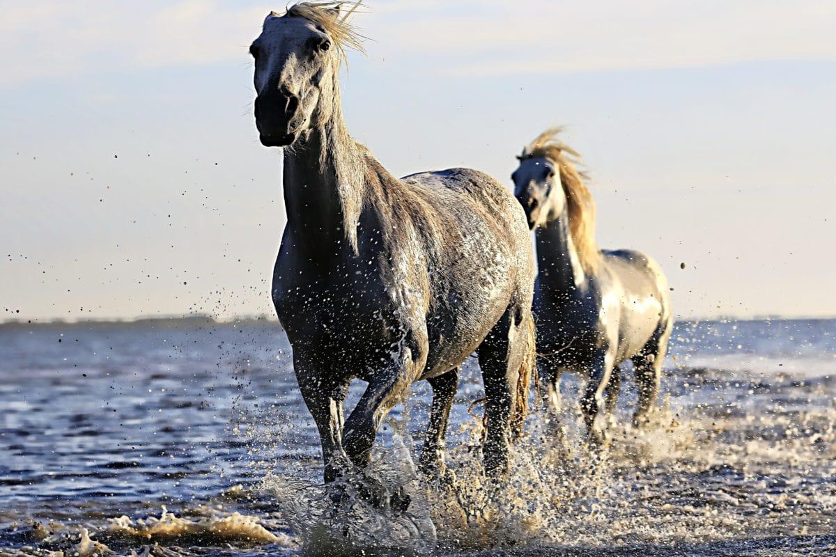 животните, кавалерия, кон, еднокопитни, дива природа, диви, природата, трева