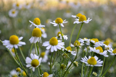 plant, meadow, nature, chamomile, summer, spring, flower, herb