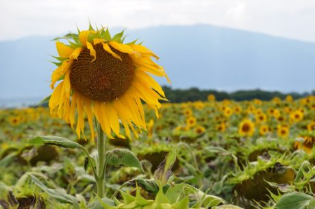 plant, sun, flower, nature, agriculture, sunflower, summer, field