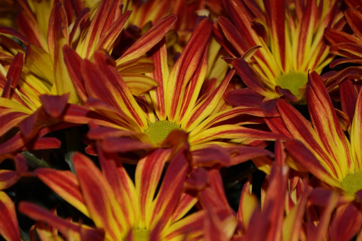 színes, Részletek, bibe, növény, szirom, természet, virág, gyönyörű
