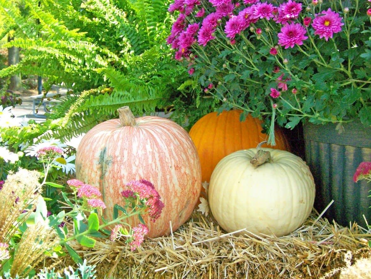 still life, pumpkin, vegetable, food, nature, flower, summer, garden