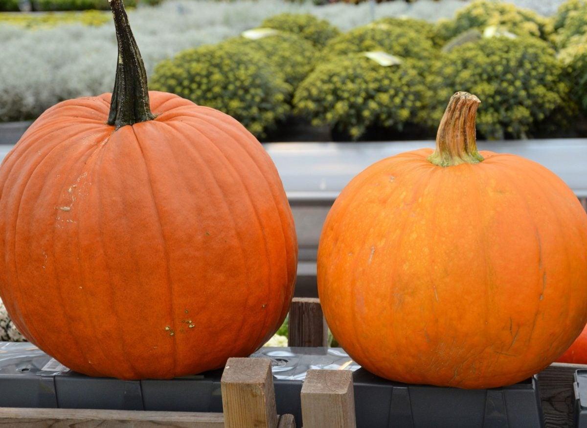 nature morte, automne, citrouille, légume, action de grâces, alimentaire, feuille, Agriculture