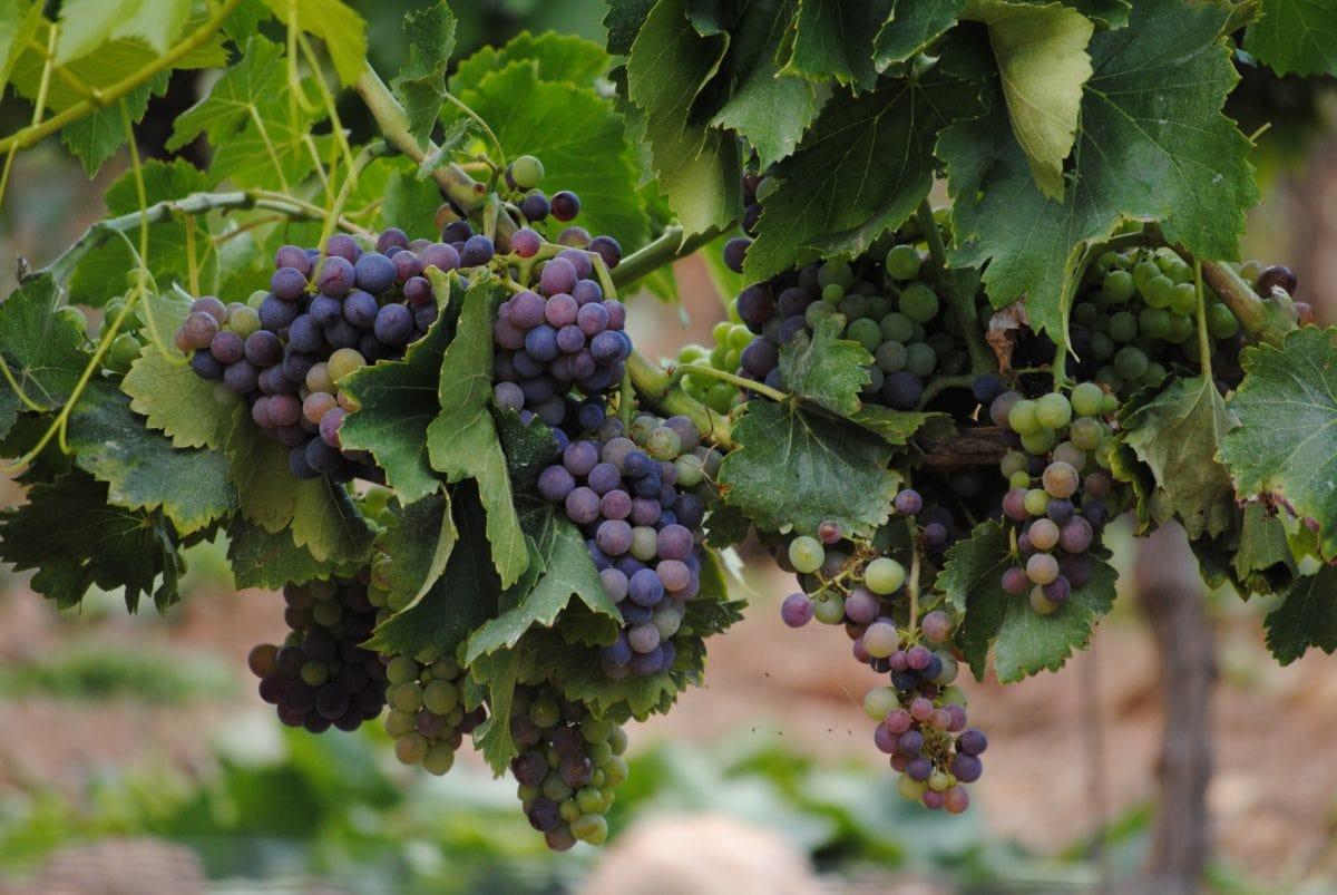 селско стопанство, грозде, лозаро-винарски, листа, растителна, лозе, грозде, плодове