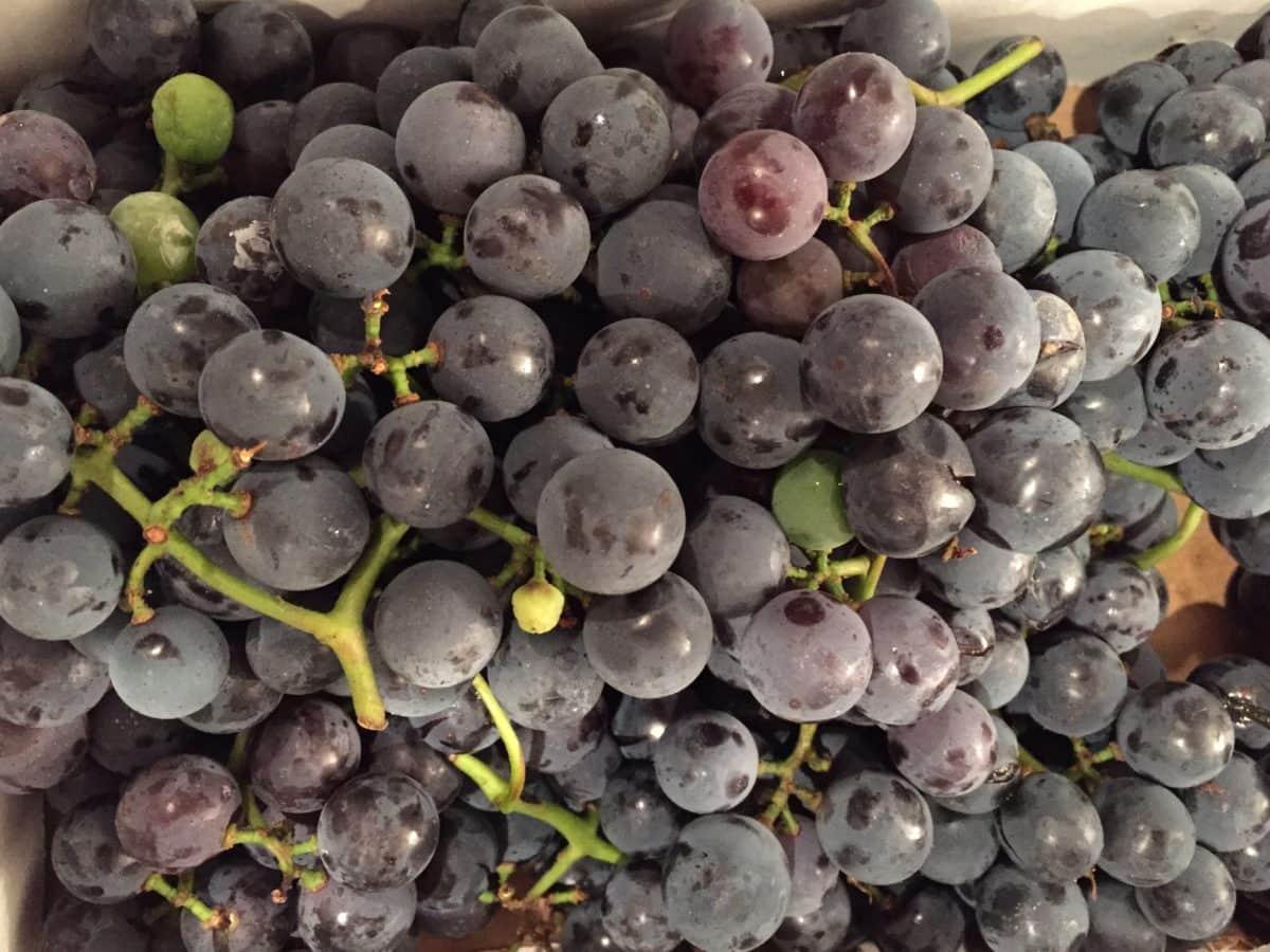 viticultura, comida, frutas, uva, baga, natureza, videira, vinhedo