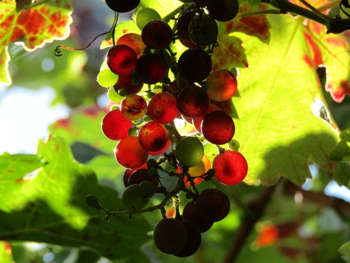 leaf, berry, plant, nature, fruit, tree, branch, summer