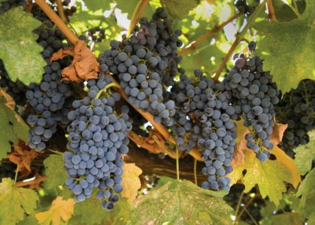 vingård, frukt, Grapevine, druva, druvor, vinodling, jordbruk, blad