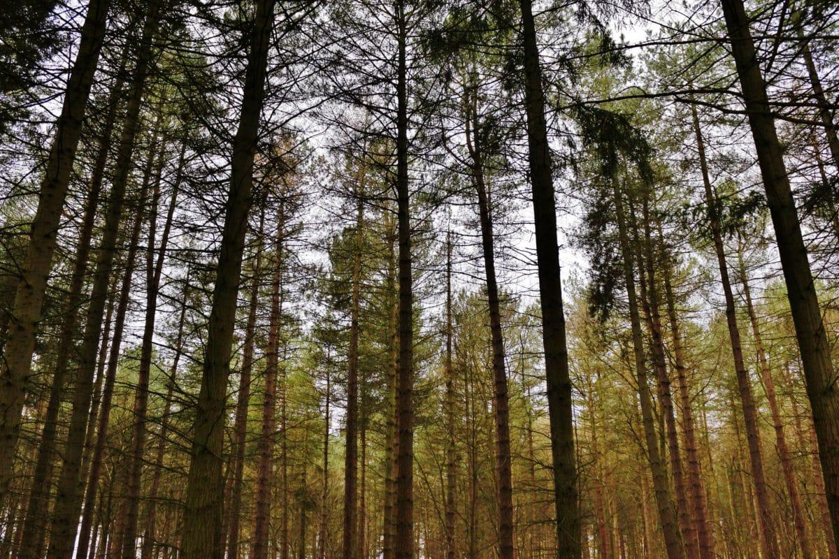 puu, maisema, puu, Metsä, mänty, Luonto, Aurinko, lehti