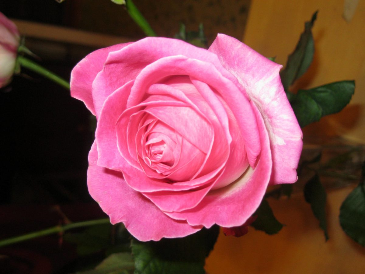 boboc de trandafir, petale, roz, arbust, plante, floare, dragoste, trandafir