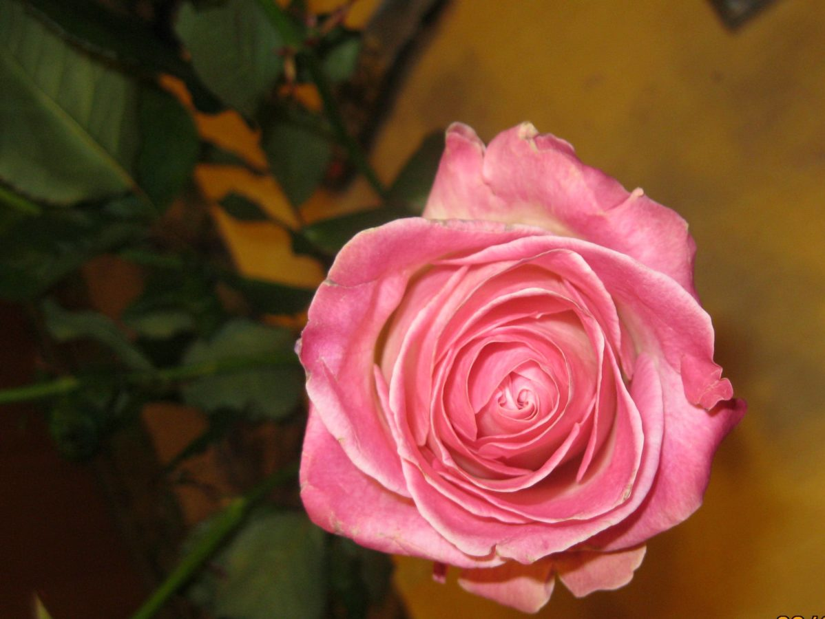 lyserød, rose bud, blomsterflor, plante, steg, blomst, kronblad, busk