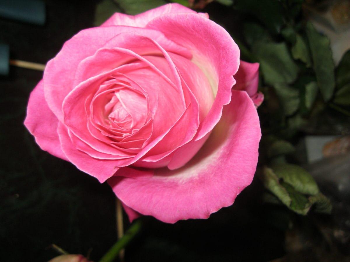 rose bud, roser, blomstre, anlegget, rosa, busk, kjærlighet, kronblad