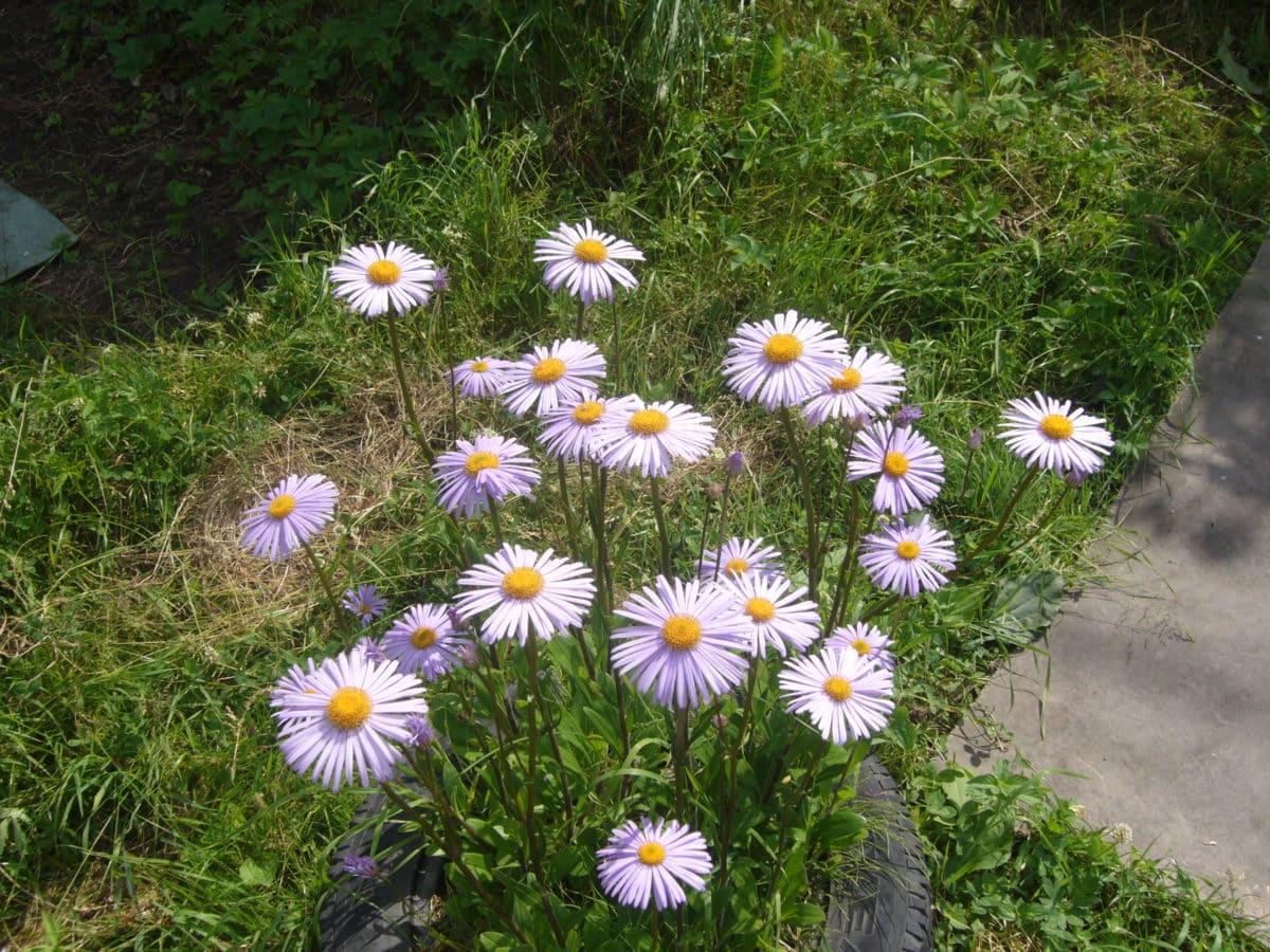 divlji cvijet, biljka, polje, cvijet, proljeće, tratinčica, trava, cvijet