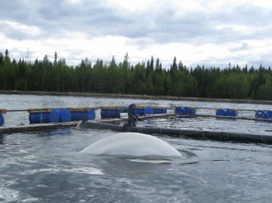 animal, beluga, hatchery, marine, person, saltwater, whale, white