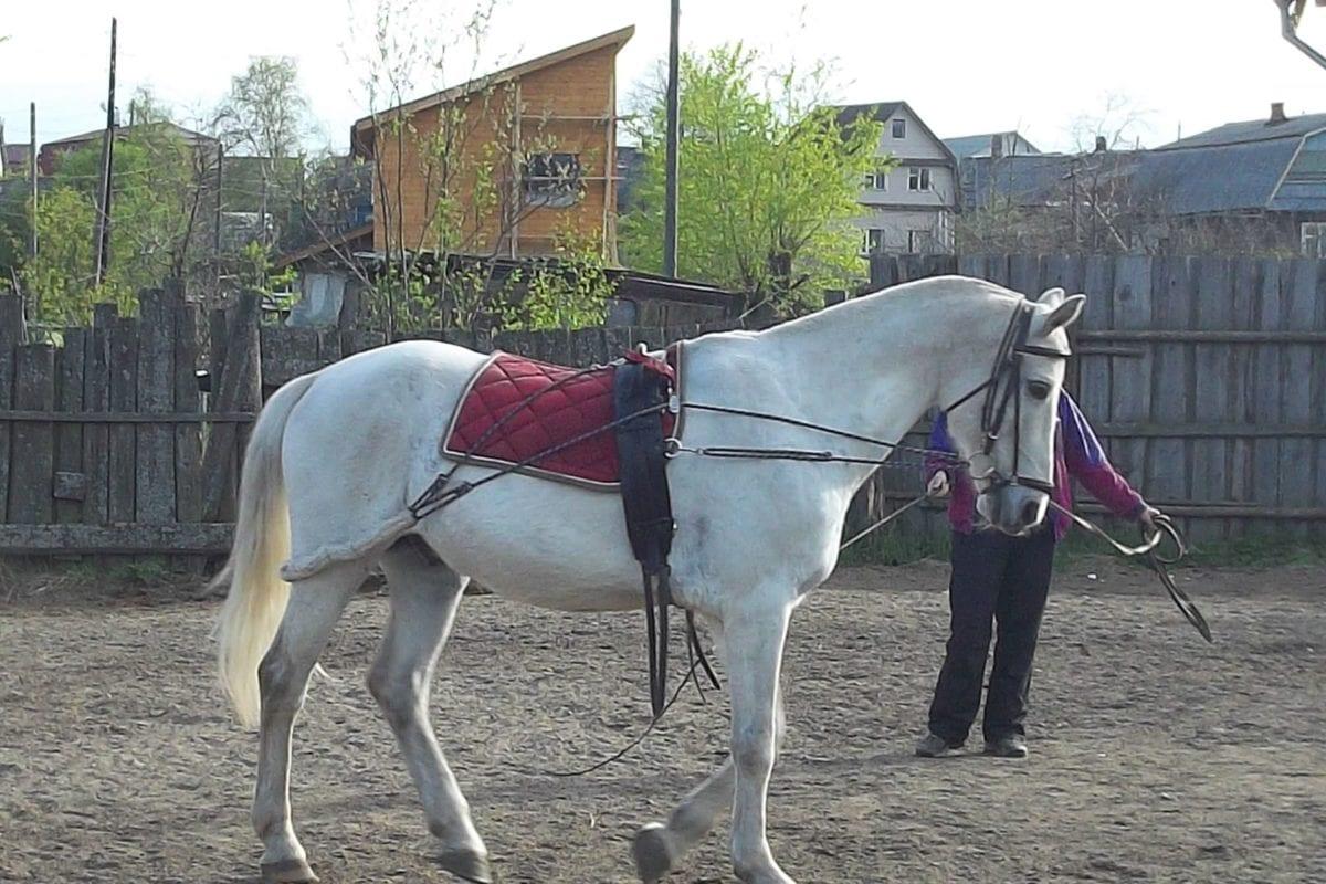 말, 목장, 종 마, 트레이너, 교육 프로그램, 흰색, 기병대, 농장
