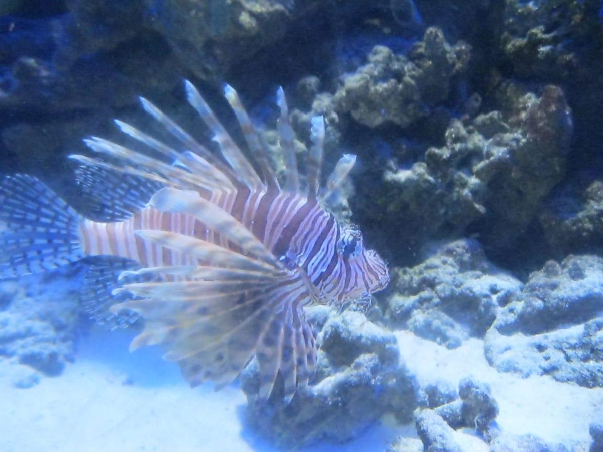 mercan, tuzlu su balık, Sualtı, Dalış, okyanus, Deniz, resif, tropikal