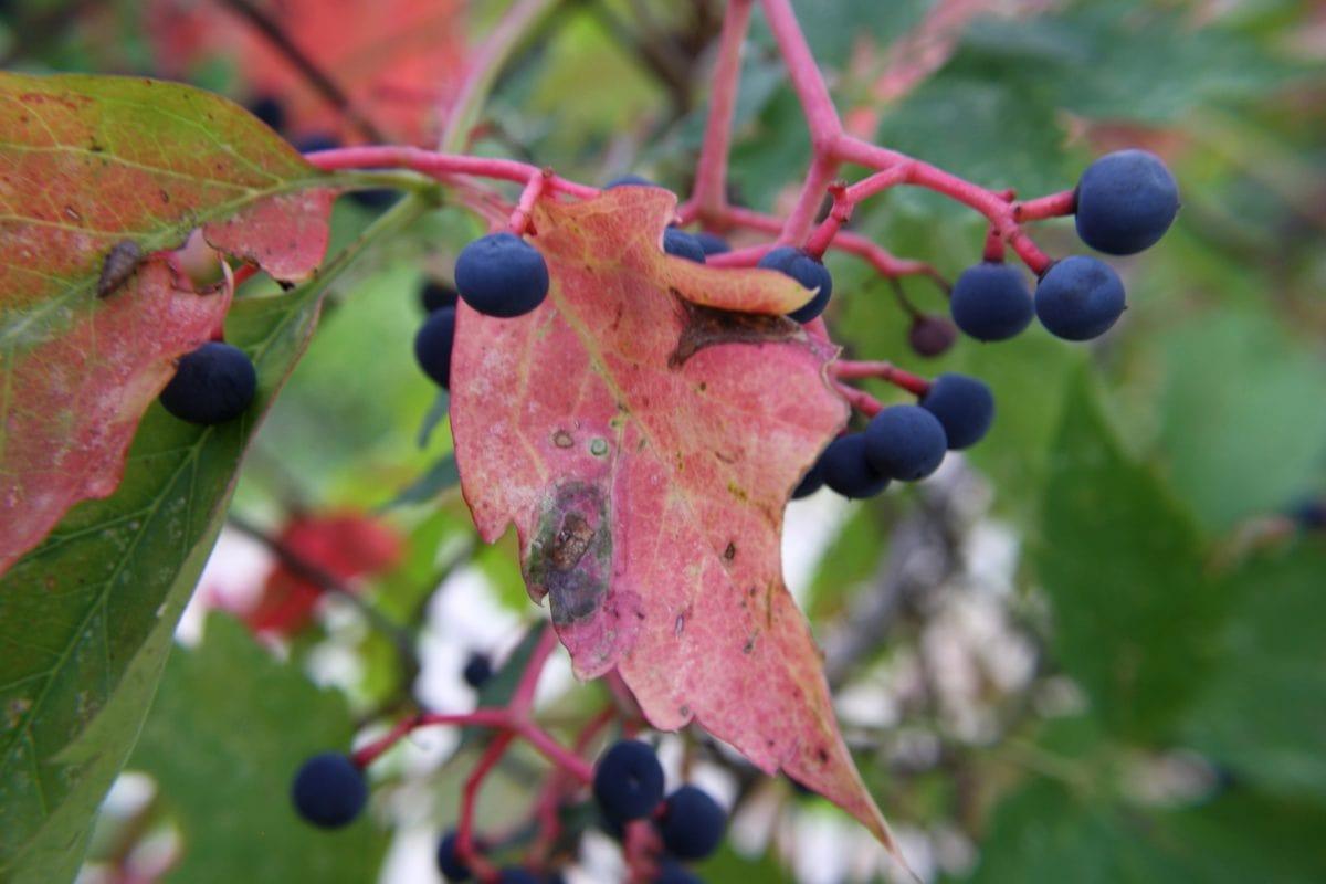 чагарник, Беррі, завод, лист, природа, флора, колір, дерево