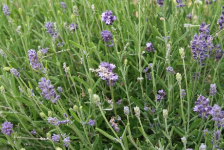 lavender, field, flower, perfume, shrub, plant, nature, flora