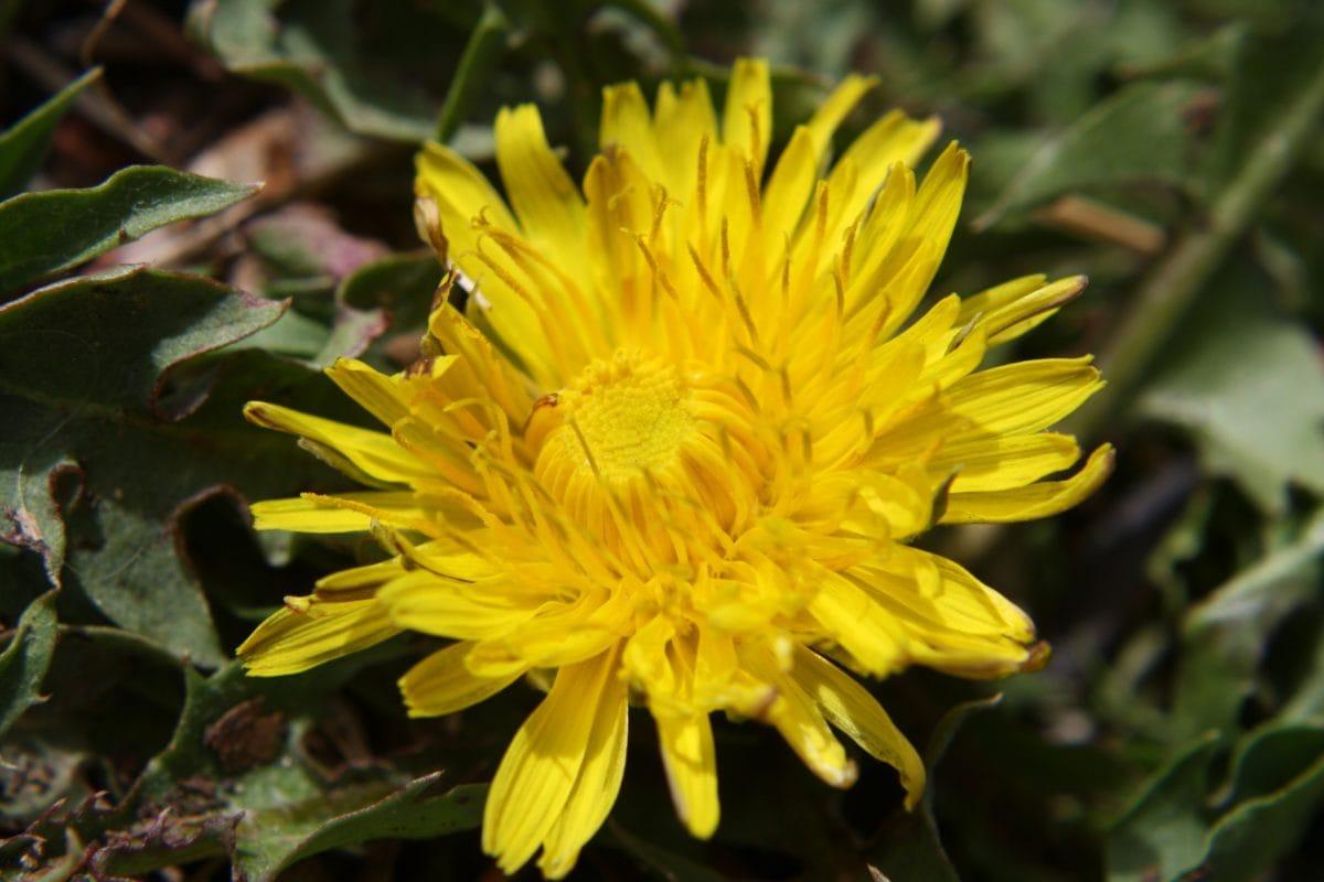 билка, глухарче, растителна, природата, флора, цвят, цвете, жълто