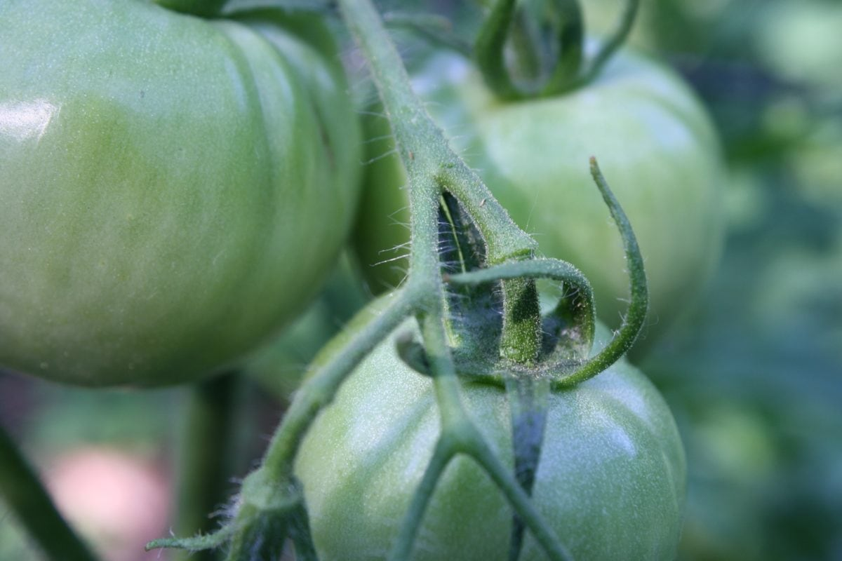 zelena, staklena bašta, rajčice, povrća, poljoprivreda, vrt, rastu, farma