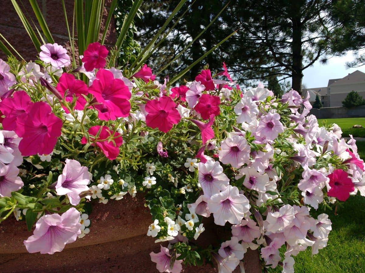 biljka, cvijet, roza, grm, flore, Rhododendron ponticum, vrt, cvijeće