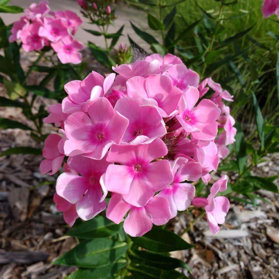 list, roza, priroda, grm, flore, biljka, cvijet, vrt