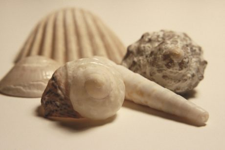 coquillage, alimentaire, Coquille, nature morte, fermer, mollusques et crustacés, nature, conque