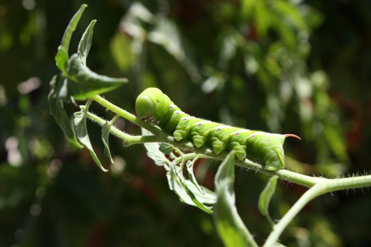 κάμπια, φύλλο, φύση, έντομο, χλωρίδα, σε εξωτερικούς χώρους, ανάπτυξη, τροφίμων