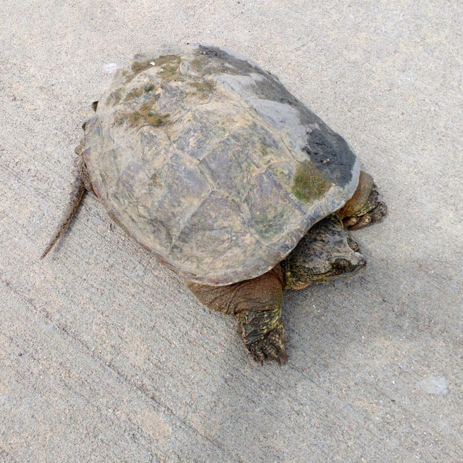 kornjača, Malaclemys terrapin, kornjača, gmaz, ljuska, priroda, Terrapene carolina bauri, biljni i životinjski svijet
