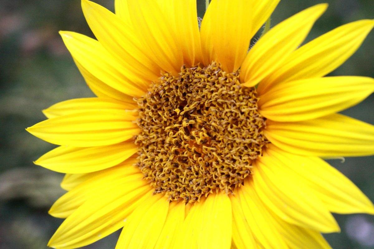 Sommer, blomstre, kronblad, blomst, solsikke, natur, anlegget, gul