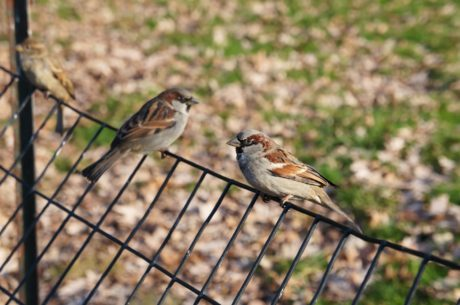 fence line, wild, sparrow, bird, beak, feather, wildlife, wing