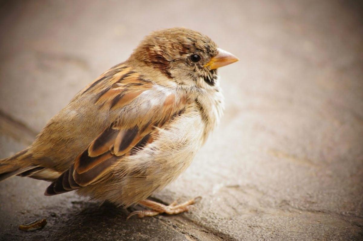 σπουργίτι, ζώο, σπονδυλωτά, άγρια, φτερό, ράμφος, πουλί, άγρια φύση
