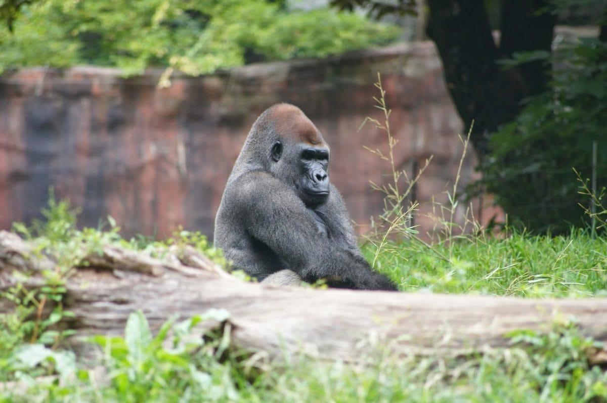 gorilă, primat, maimuta, sălbatice, albine, faunei sălbatice, natura, gradina zoologica