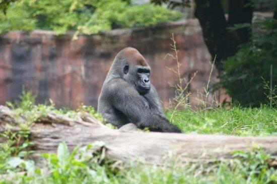 gorille, primate, singe, sauvage, abeille, faune, nature, Zoo
