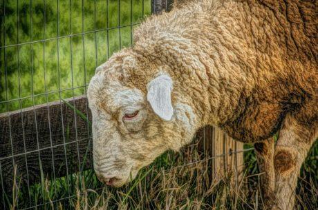 oaie, animale, cadru, ferma, iarba, efectivele de animale, natura, agricultura