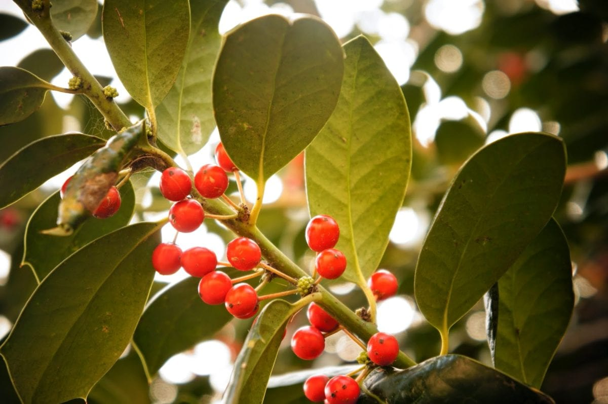 shrub, leaf, branch, plant, holly, tree, nature, color