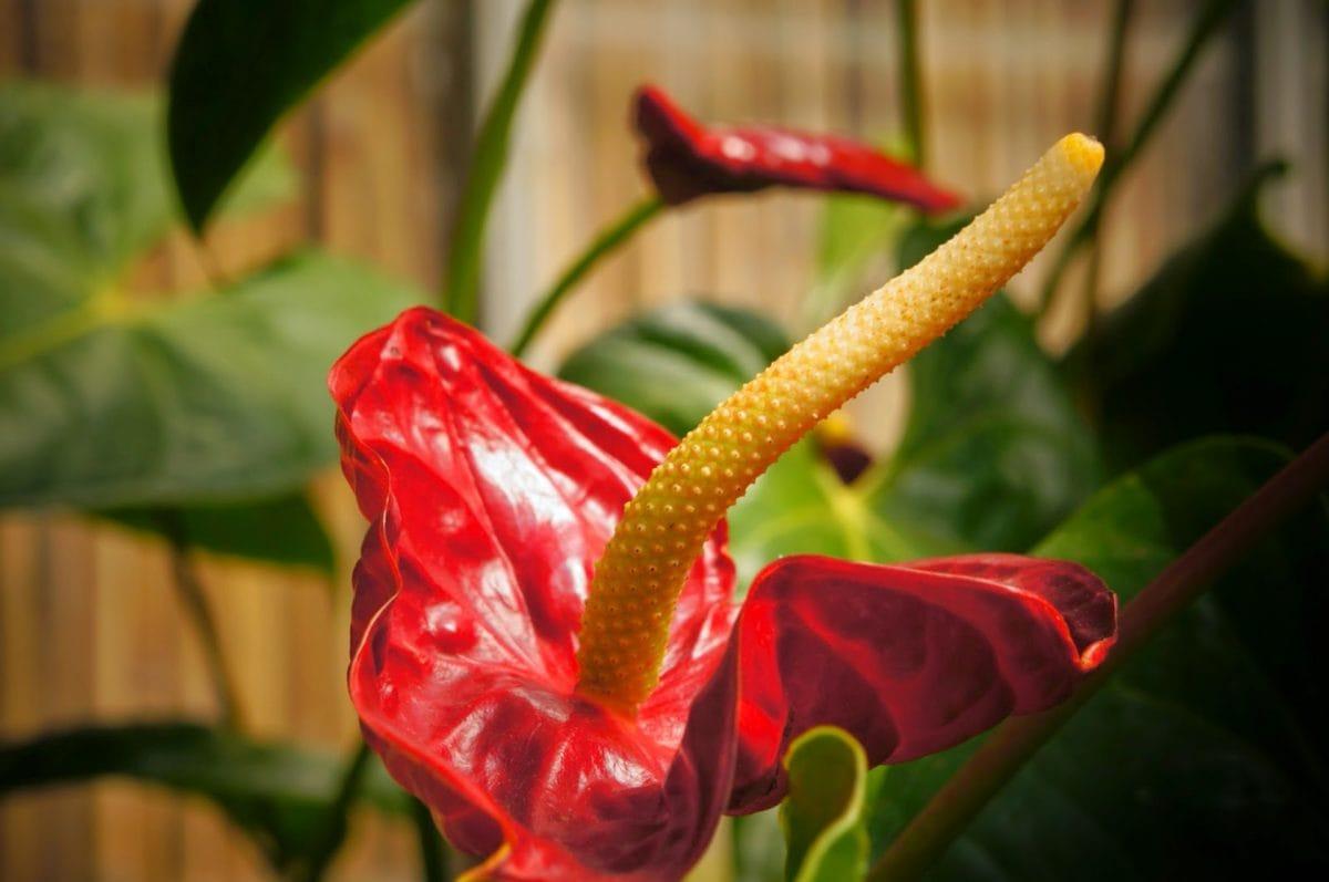 botanikk, støvbærere, anlegget, blomst, blad, natur, flora, hage