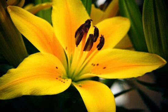 Lilie, Stempel, Pollen, gelb, Flora, Natur, Anlage, Blume