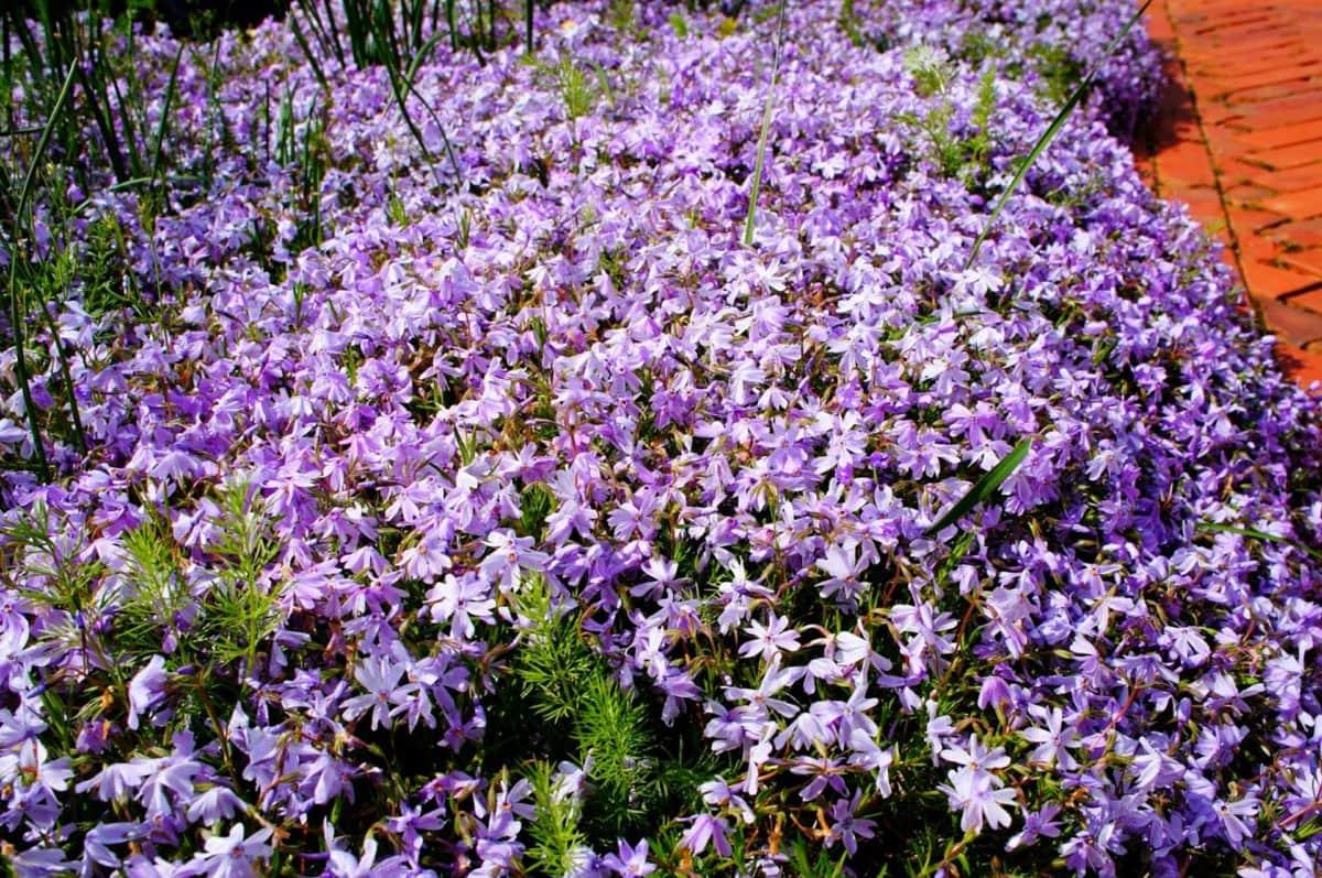növény, természet, Flóra, kert, gyógynövény, virágzó, lila, virág